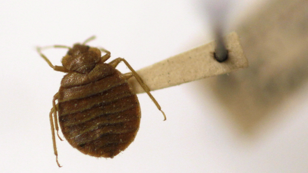 Bedbugs are becoming a common nuisance in many places. But cheap ultrasonic devices advertised as bedbug repellents don't work, scientists say. (AP)