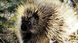The barbs on porcupine quills make it easier from them to penetrate the skin.