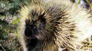 What Porcupines Can Teach Engineers