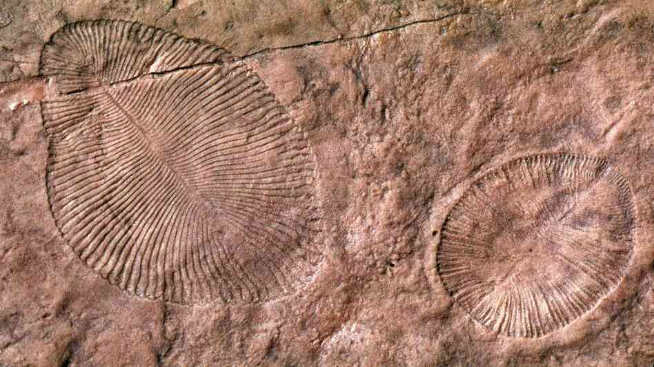 The fossil remains of Dickinsonia, an Ediacaran organism that's long been extinct. Scientists have long assumed these early life forms lived in the sea, but a new study argues they emerged on land.