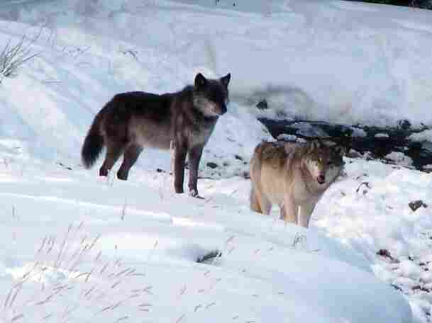The Lamar Canyon pack's alpha female (right) was shot and killed by a hunter on Dec. 6.