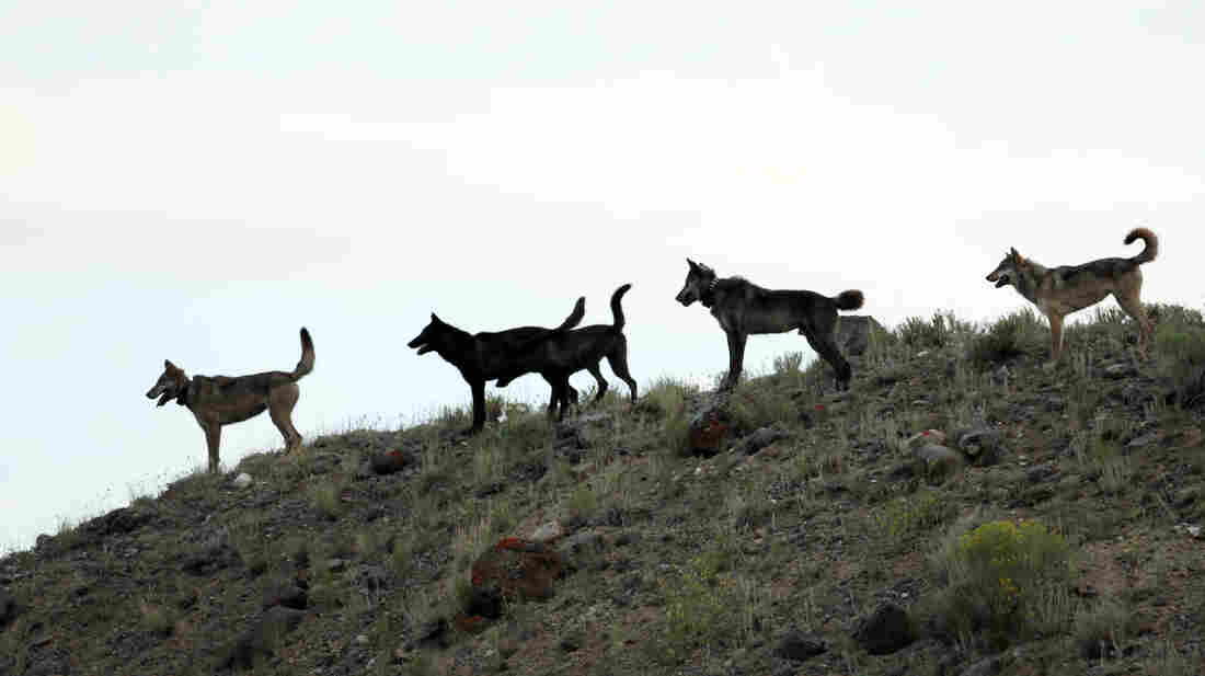 Wolves from the Lamar Canyon pack stand on a hillside in Yellowstone National Park in Wyoming in August 2012.