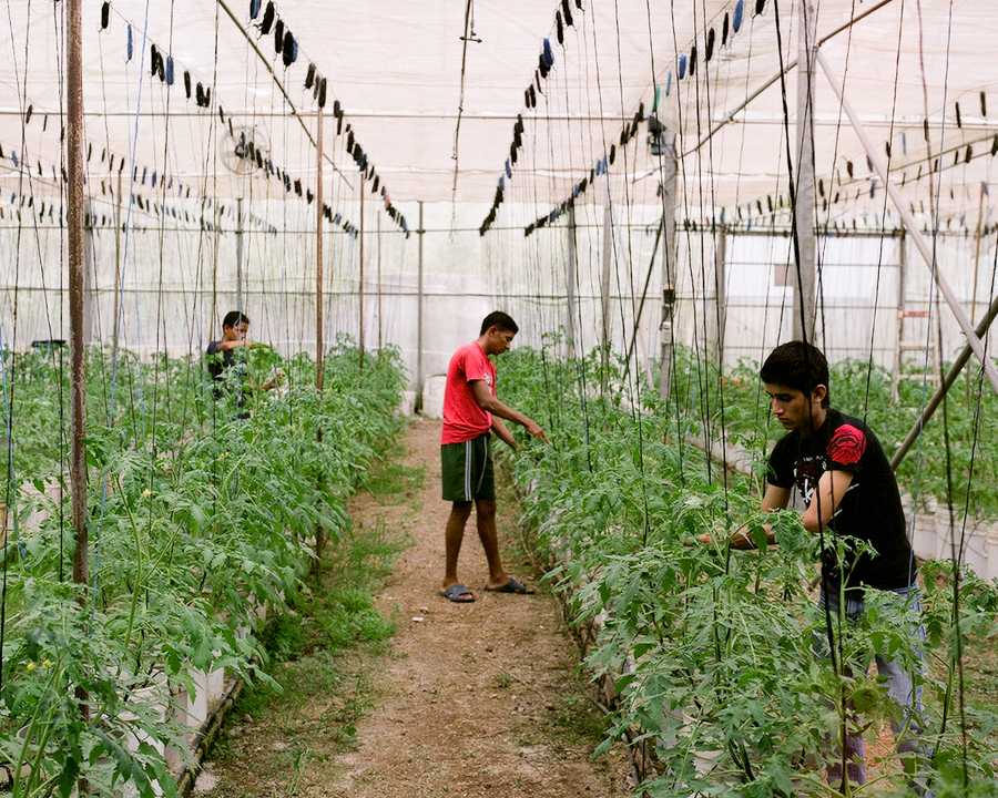 Polo, Osman and Tony tend to tomatoes in a greenhouse.