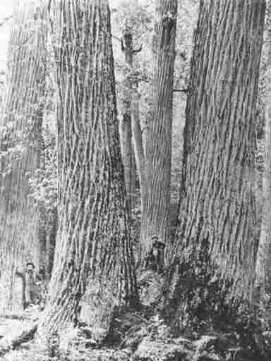 "In the early 1900s, two men stand amid five American chestnut trees near Townsend, Tenn. Once called ""the Redwoods of the East"", chestnuts made up 25 percent of Northeastern American forests."