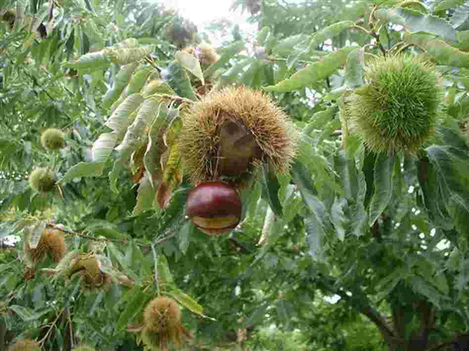 "Michigan growers harvest 'Colossal' chestnuts, like the one above in New Paltz, N.Y. ""If you're going to work in the kitchen with a pound of chestnut, [the] largest best tasting chestnut you can find is the one you want to use,"" says MSU plant pathologist Dennis Fulbright."