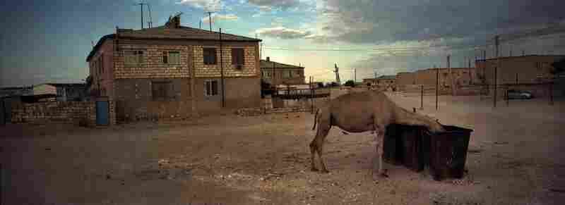A camel scavenges food from a garbage dump in a village south of Aktau, Kazakhstan, summer 2012.