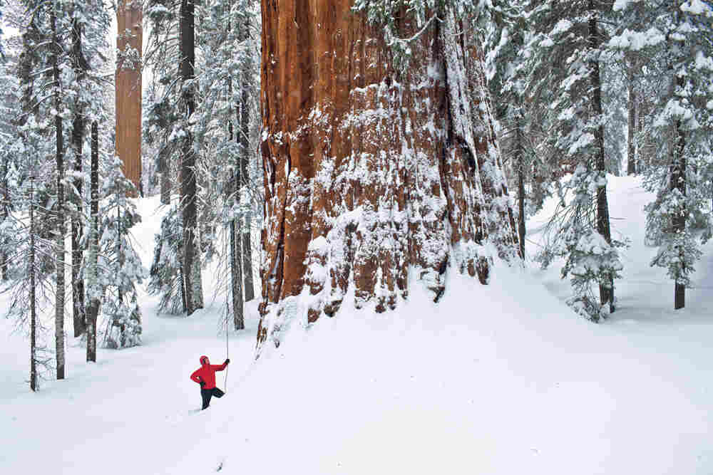 The giant sequoia is a snow tree, says scientist Steve Sillett, adapted for long winters in the Sierra Nevada. But it's a fire tree, too. Thick bark protects it from burning in lightning-caused fires, which open cones and clear the understory, allowing saplings to find light and prosper.