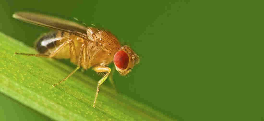 A male fruit fly (Drosophila melanogaster)