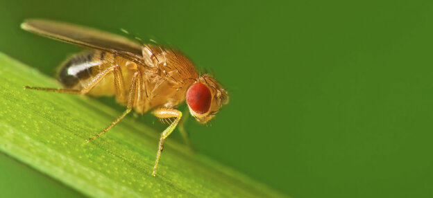 A male fruit fly (Drosophila melanogaster)