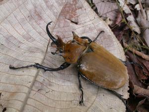 Megasoma elephas (Scarab beetle)