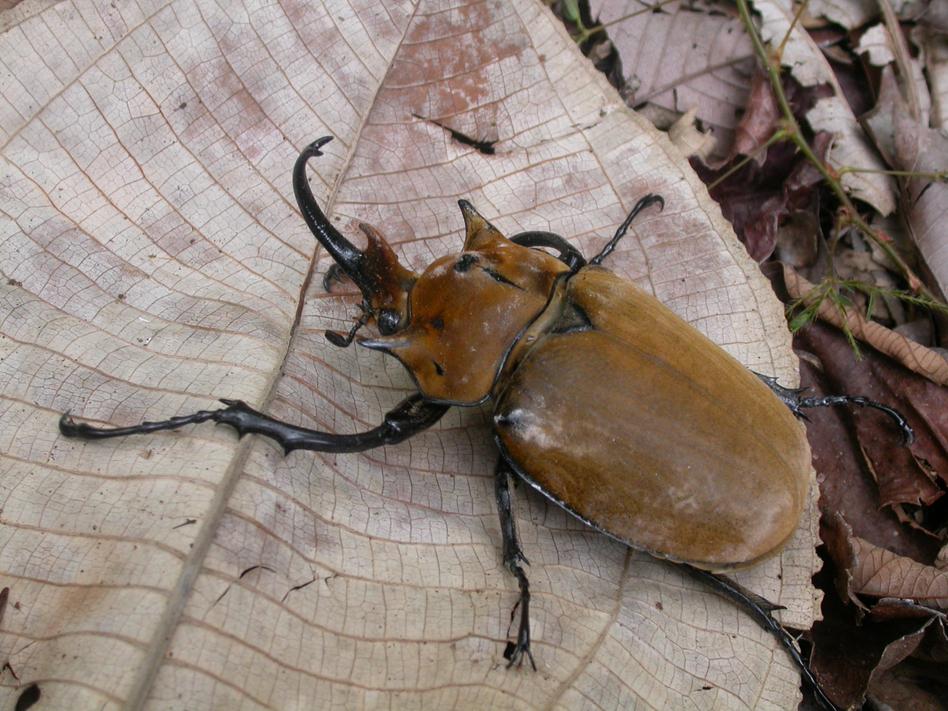 Megasoma elephas (Scarab beetle) (AAAS)