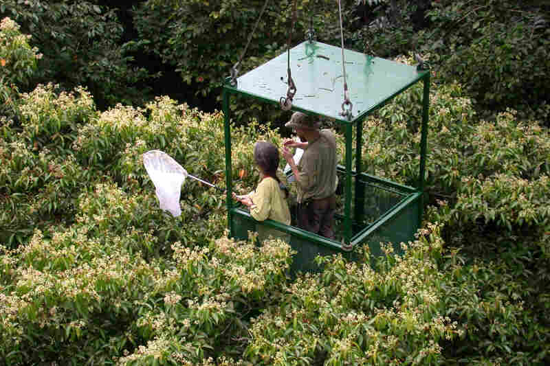 Here, Dawn Frame and Alexey Tishechkin in the crane's gondola net insects attracted to the flowers of Nectandra purpurascens.