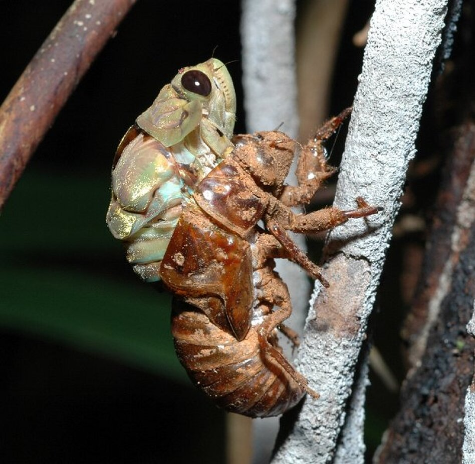 Hemiptera ciccada (Courtesy of Maurice Leponce)