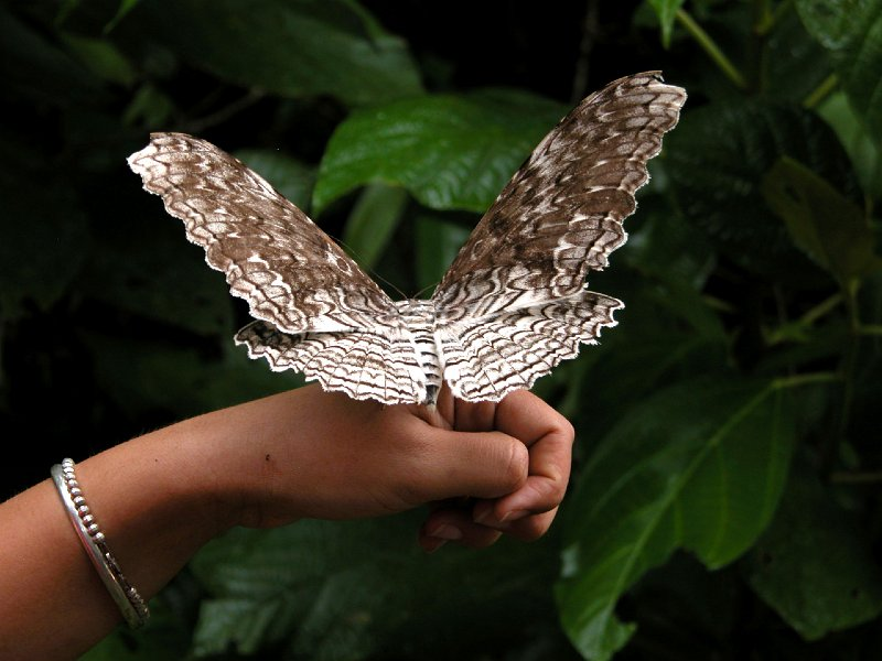 The Giant Owlet Moth of Central and South America