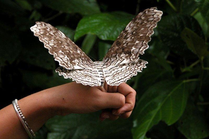 Thysania agrippina (Giant owlet moth)