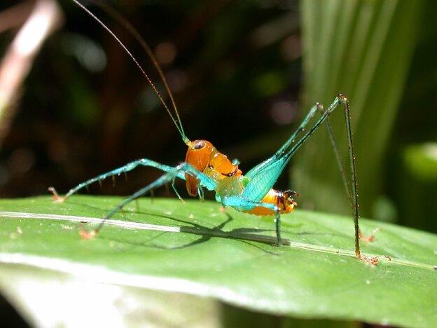 Arachnoscelis magnifica (AAAS)