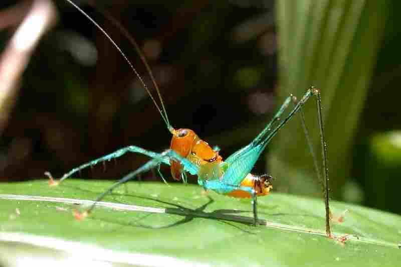 Arachnoscelis magnifica