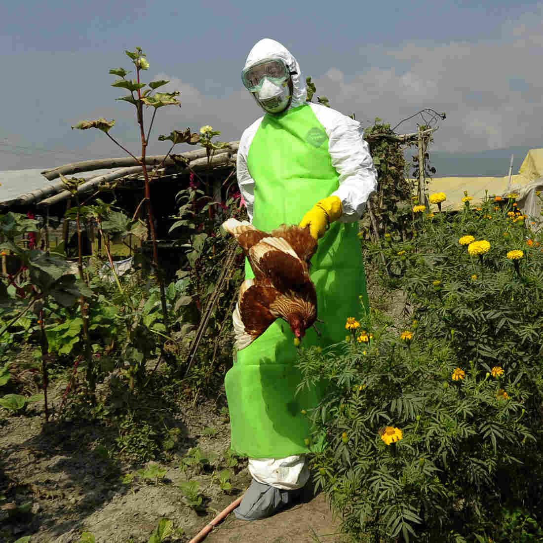 A prefectural officer carries a chicken on a poultry farm on Oct. 15 on the outskirts of Kathmandu, Nepal, where chickens suspected of being infected with bird flu were found.