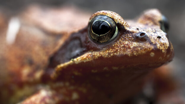 For centuries, Russians believed putting a brown frog in their milk would keep it fresh. Now scientists are finding chemicals in the frog's slimy goo that inhibit the growth of bacteria and fungi.