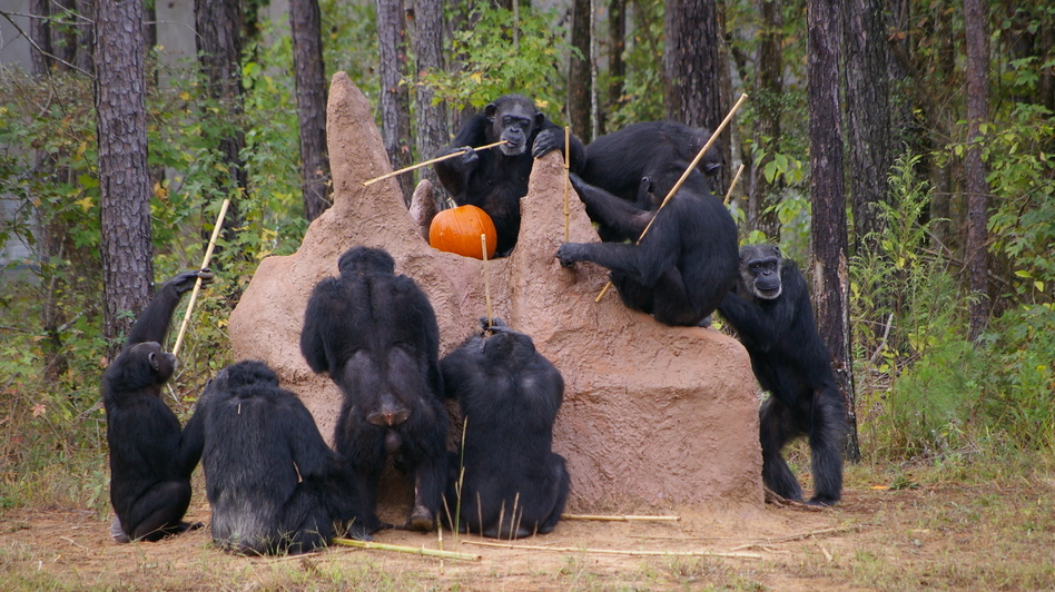 Chimpanzees check out a termite mound at the Chimp Haven sanctuary in Louisiana.