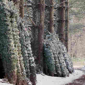 The Life Of Christmas Trees, Before The Merriment