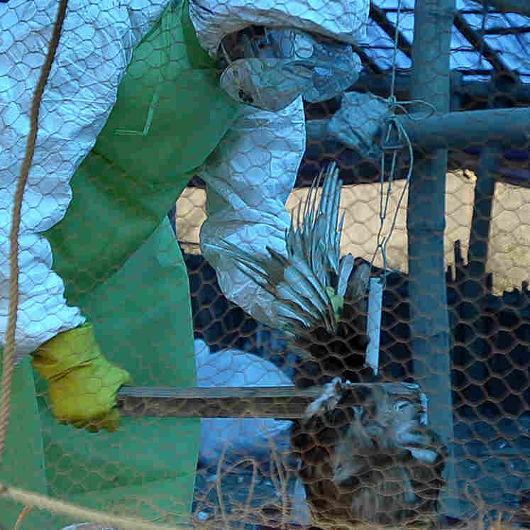 A health official culls chickens on a poultry farm in a village on the outskirts of Katmandu, Nepal. Chickens suspected of being infected with H5N1 bird flu were found in the area in October.