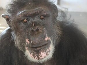 """Rufus, 46, now lives on an island in a Florida sanctuary run by Save the Chimps. Before his rescue, Rufus lived in a facility Save the Chimps calls """"the dungeon."""""""