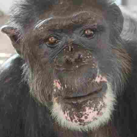 "Rufus, 46, now lives on an island in a Florida sanctuary run by Save the Chimps. Before his rescue, Rufus lived in a facility Save the Chimps calls ""the dungeon."""