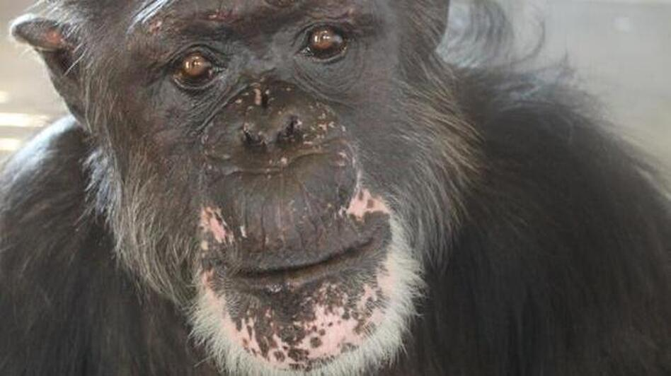 "Rufus, 46, now lives on an island in a Florida sanctuary run by Save the Chimps. Before his rescue, Rufus lived in a facility Save the Chimps calls ""the dungeon."" (Courtesy of Save the Chimps)"