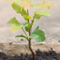A newly planted oak sapling.