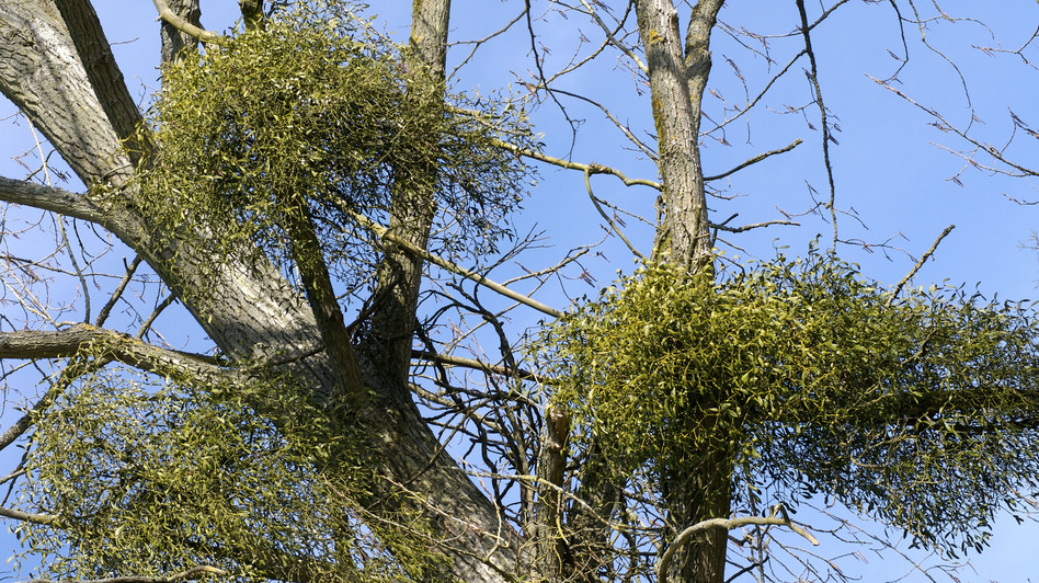 Researchers in Australia found that when they removed mistletoe from large sections of forests, vast numbers of birds left. (UIG via Getty Images)