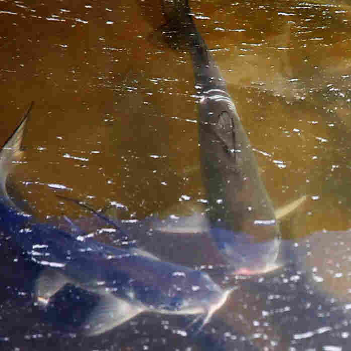 Drought Puts The Squeeze On Already Struggling Fish Farms