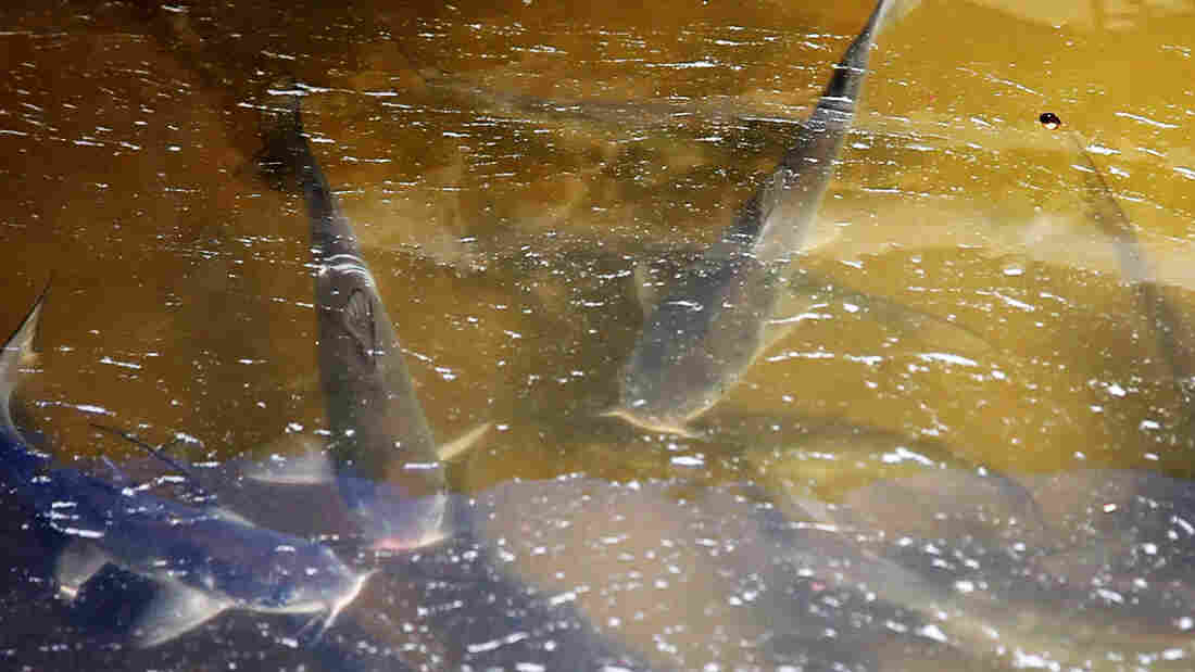 Catfish swim in a tub outside the Osage Catfisheries office.