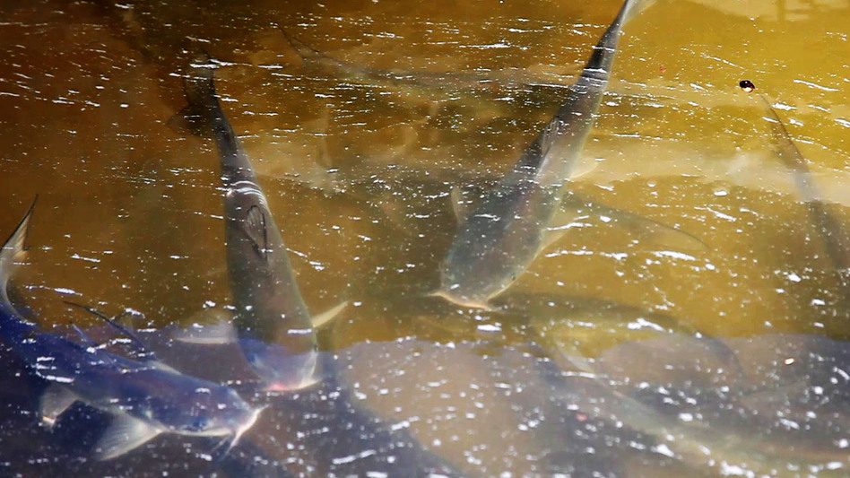 Catfish swim in a tub outside the Osage Catfisheries office. (KBIA News)