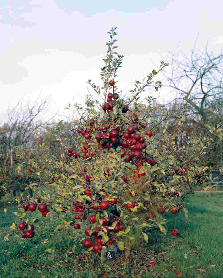 Apple Tree, 2011: Modern apple growers use apple varieties that are grafted onto Dwarfing Rootstocks. Developed at a research station in the U.K., these ... trees need less water and less space than traditional apple trees, which makes high density planting possible. The fruits are more accessible and easier to pick, because the trees are smaller.