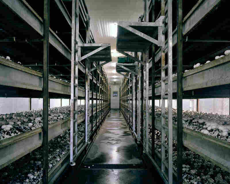 Mushrooms, 2012: To allow an all-year-round production of mushrooms and to increase the yield, mushrooms are grown in a microclimate inside growing rooms. A stacking system maximizes the production per square meter.