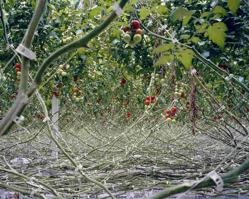 Tomatoes I, 2012: In order to have total control over the nutrients and the irrigation, tomatoes are planted in sterile material such as rock wool and not in soil. By doing so, the tomatoes are, according to the growers, less likely infected by diseases, a smaller amount of pesticide is needed and the yield can be increased.