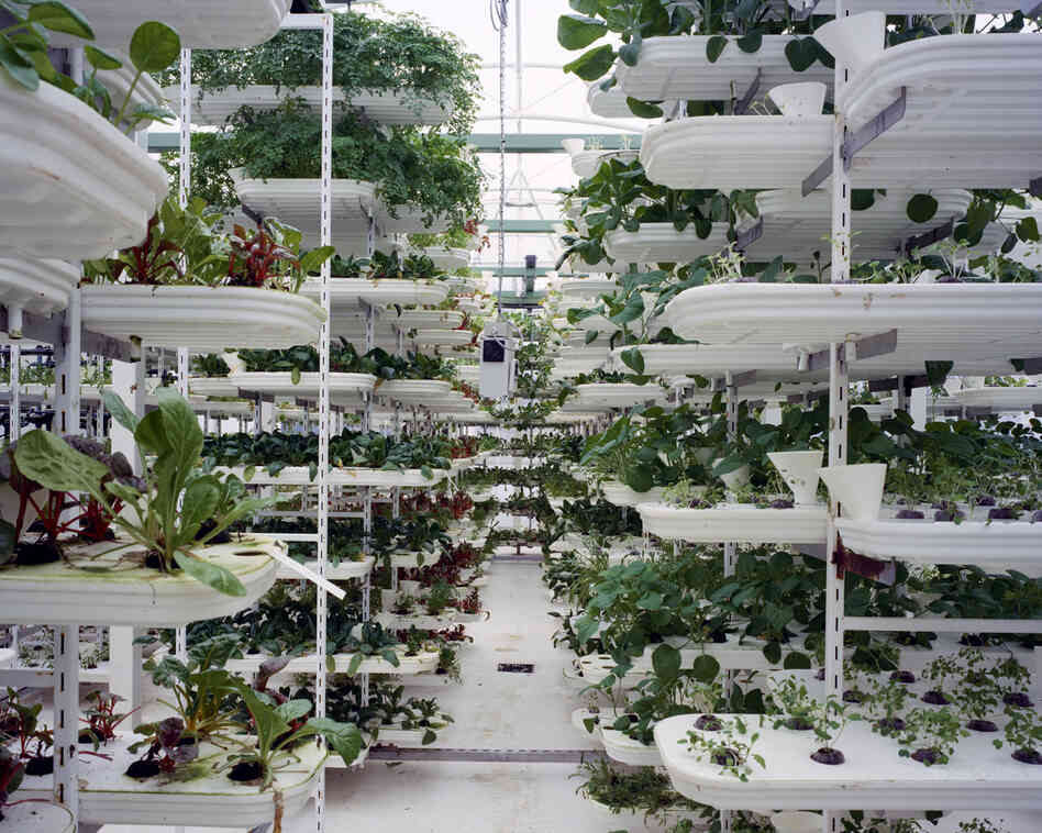 Lettuce, 2011: Lettuce is grown in a stacking system to provide a maximum use of space. Plants grow inside of plastic trays without soil. A conveyor belt is moving the plants to ensure they get all round sunlight. The whole