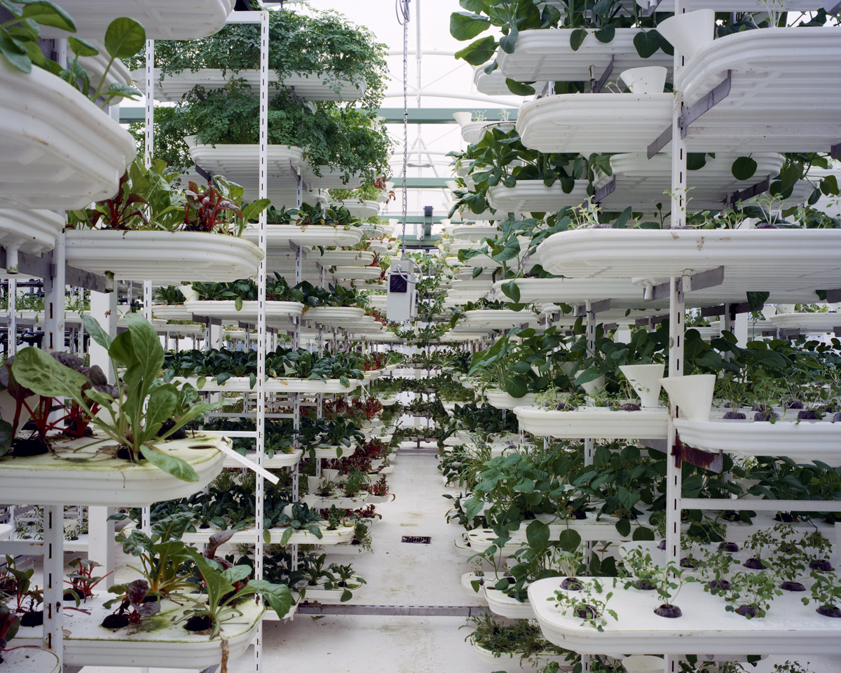 Lettuce, 2011: Lettuce is grown in a stacking system to provide a maximum use of space. Plants grow inside of plastic trays without soil. A conveyor belt is moving the plants to ensure they get all round sunlight. The whole growing process is computer controlled.