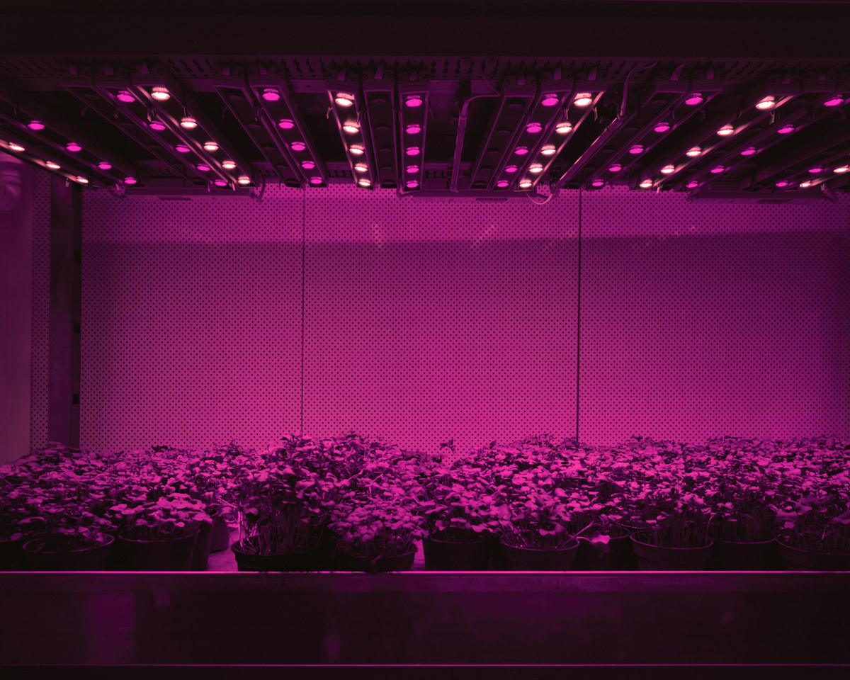 Cress, 2011: Cress, tomatoes, cucumbers, or lettuce are grown in closed systems just with LED lights. There is no sunlight and no direct exchange of air with the outside. Day and night, summer and winter stop existing. Humans are able to determine the shape, taste and color of plants and fruits. They can be grown anywhere from the desert to inside of restaurants and supermarkets.