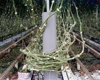 Tomato Vines, 2012