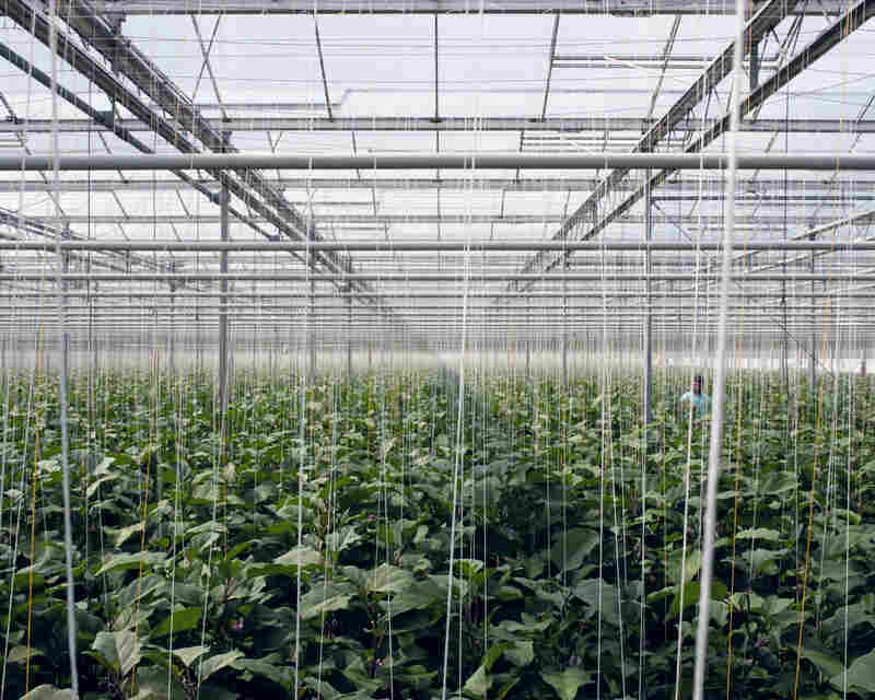 Eggplants, 2012: A computer manages precisely the irrigation, the nutrients given to the plants and also the climate inside the greenhouse. Automatically windows open, sunscreens move, and waste, water and nutrients are collected, purified, and recycled.