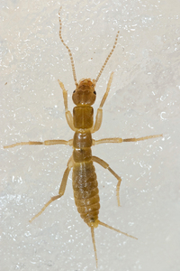 The Gryloblatta campodeiformis is also known as an ice crawler.