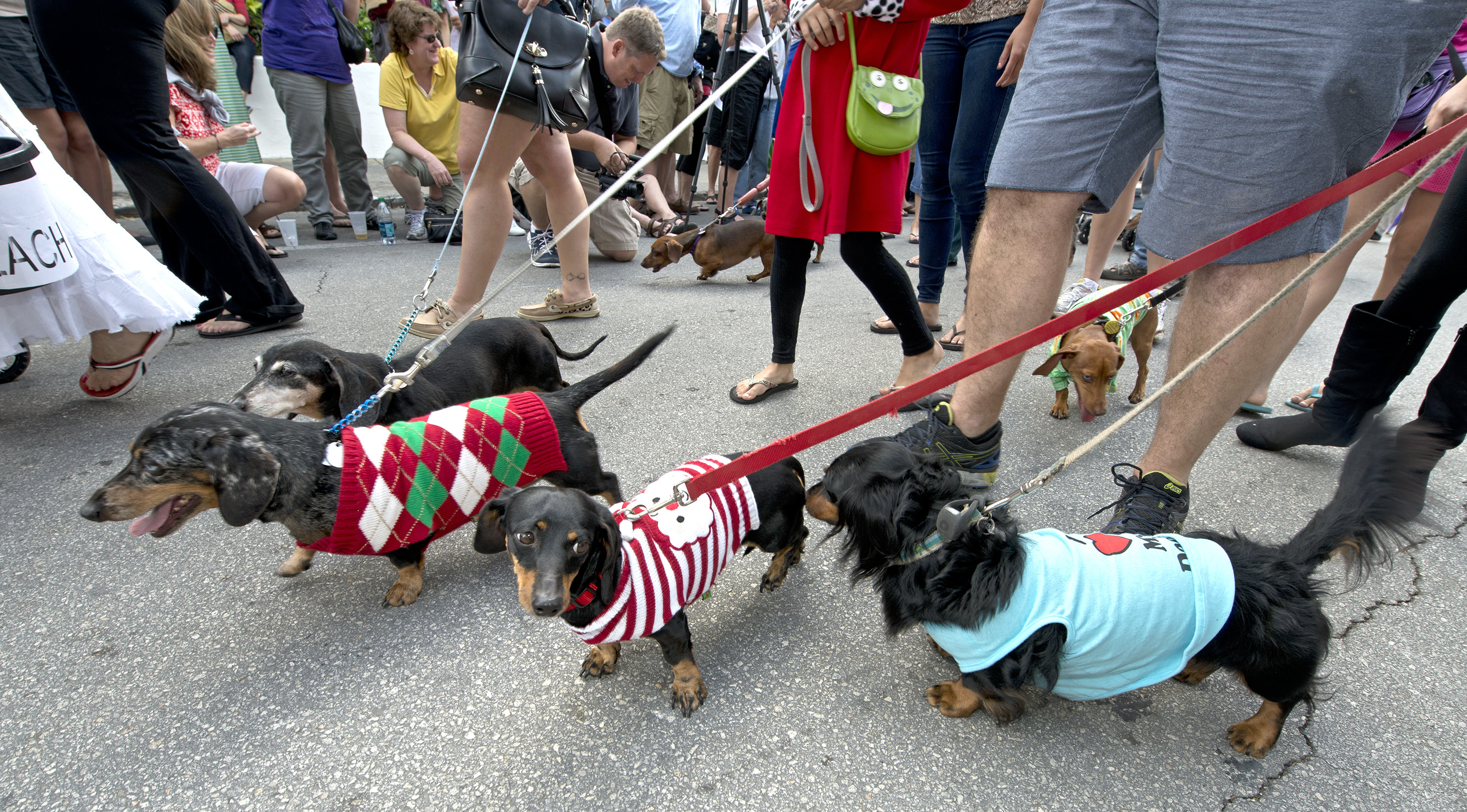 Dachshunds and their owners parade in Key West, Fla., during the Key West Dachshund Walk. The annual New Year's Eve tradition attracted almost 200 of the short-legged, long-bodied canines.