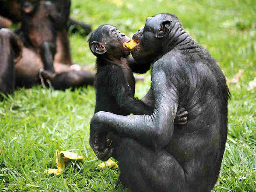 Bonobos sharing food and friendship.