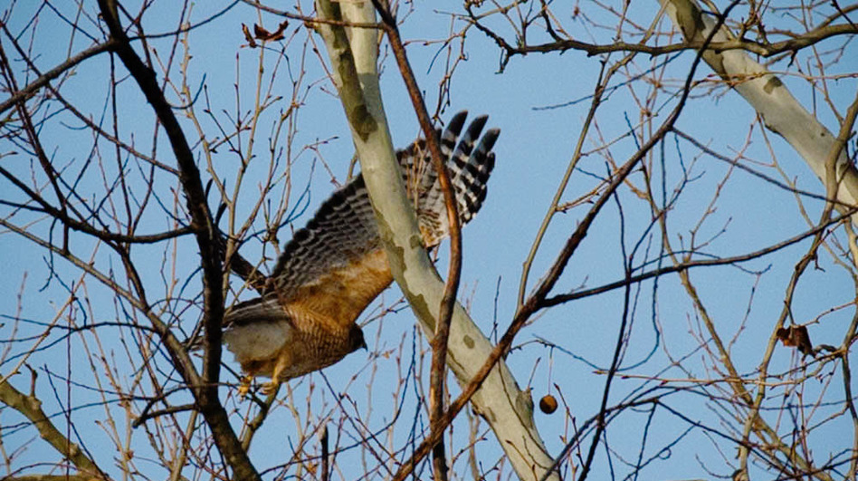 The Loudoun County birders found a total of 67 species, including this red-shouldered hawk. (Courtesy of Nicole Hamilton)