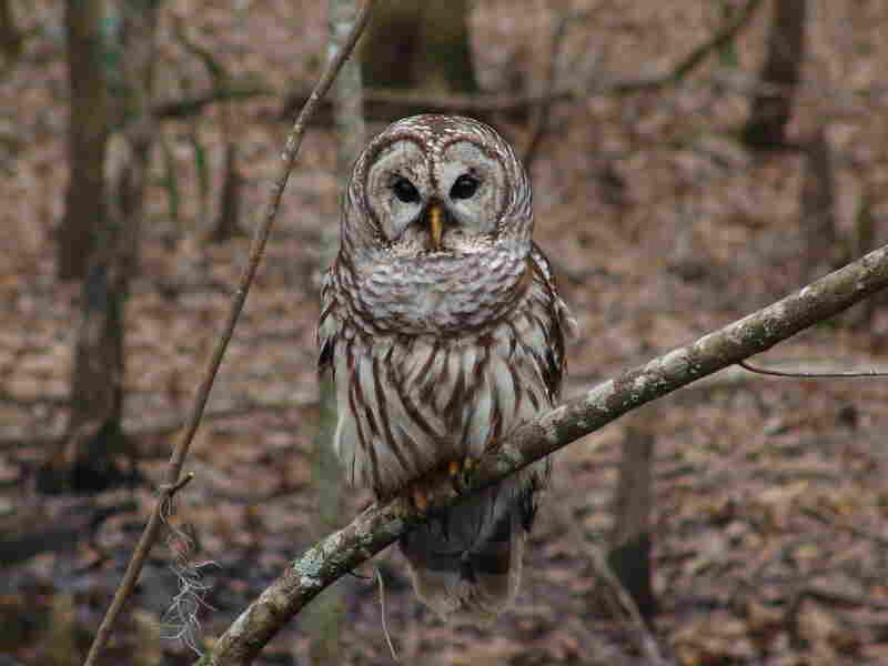 During their search for birds on a cold, winter morning, the Loudoun County group spotted a barred owl, like the one seen here.