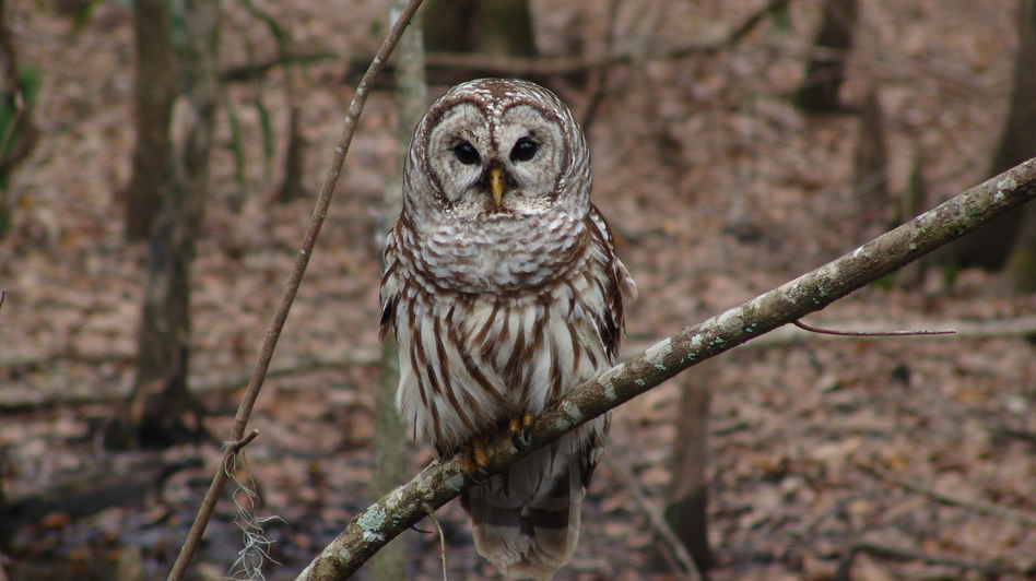 During their search for birds on a cold, winter morning, the Loudoun County group spotted a barred owl, like the one seen here. (FWS/NCTC Image Library)
