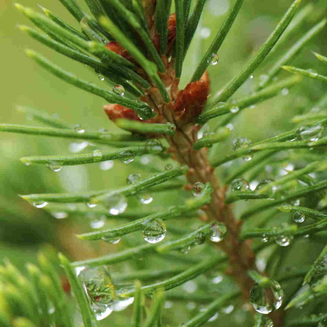 Don't Waste That Christmas Tree: Turn It Into Spruce Beer