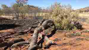In Australia, Trees Made Famous By Aboriginal Artist Fall To Suspected Arsonist